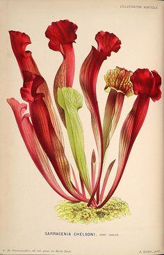 L'Illustration horticole :. Gand, Belgium :Imprimerie et lithographie de F. et E. Gyselnyck,1854-1896.. biodiversitylibrary.org/page/15949177
