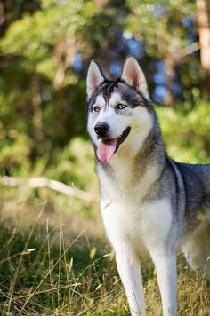Siberian Husky ~ quick and light on his feet w amazing endurance. The breed originated in north eastern Siberia