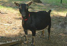 Squire Woods Farm, Nigerian Dwarf Goat Herd Info