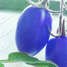Um pacote de 100 PCS azul sementes de tomate cereja varanda Bonsai em vasos de plantas de tomate sementes de frutas vegetais(China (Mainland))
