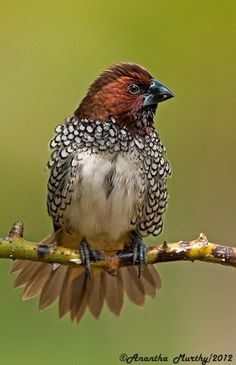 Scaly-breasted munias are estrildid finches native to tropical Asia and are distributed from India and Sri Lanka to Indonesia and the Philippines. They have been introduced Puerto Rico, Australia and the USA.