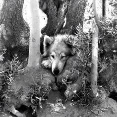 Even wolfdogs loves a good treehouse!   Help secure Ranger's new home where he'll have more room to play and explore near the Angeles National Forrest. www.igg.me/wolfconnection