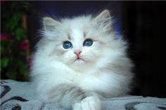Romantic Melody's ~ Neva Masquarade ~ Sibirische Katze. Winter snow.