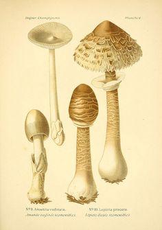 Atlas des champignons comestibles et vénéneux Paris, P. Klincksieck, 1891