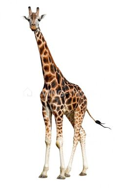 Giraffe Art, Elephant, Jungle Animals, Cute Animals, Animals With Horns, Giraffe Tattoos, African Giraffe, Giraffe Pictures, Amazing Frog
