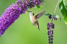 Hummingbird in butterfly bush-  Home/Outdoor & Gardening articles by  Alicia French