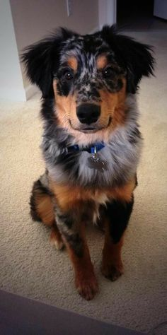 Dog Breed Information, Popular Pictures dogs Australian Shepherd Dog Breed Information, Popular Pictures Cute Baby Animals, Animals And Pets, Funny Animals, Funny Dogs, Chien Golden Retriver, Beautiful Dogs, Animals Beautiful, Cute Puppies, Dogs And Puppies