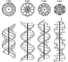 infinity-imagined: The different structural conformations of DNA, visualized along the helical axis. Dna Tattoo, Biology Tattoo, Chemistry Tattoo, Science Tattoos, Body Art Tattoos, Cat Tattoos, Ankle Tattoos, Arrow Tattoos, Friend Tattoos