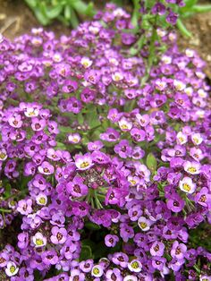 purple sweet alyssum - Itsy Bitsy Peace Out Purple by Live Mulch #alyssum #groundcover