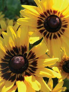 "Rudbeckia Denver Daisy - 24"" (Plant 12"" apart); Blooms Early Summer to Early Fall; Sun-Shade: Full Sun; Zones: 5-8; Soil: Normal; $7.95, www.bluestoneperennials.com"