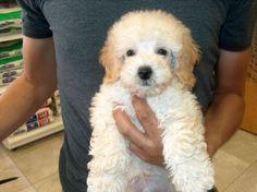 poodle puppie http://ift.tt/2dBdZfh