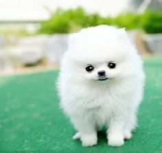 Akc Tiny Pomeranian Puppies Available for Adoption Text (701) 660-2572 ...