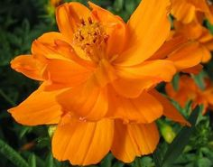 Orange Cosmos - Small Powerhouse of Bold Tangerine. Excellent for containers. An annual worth planting for our winged friends, drought tolerant.