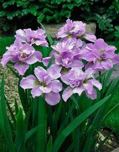 Double Siberian 2 Iris Bulbs Kita-No-Seiza Plant Bloom Early mid-spring Summer Garden Bulbs, Planting Bulbs, Garden Plants, Planting Flowers, Bonsai Flowers, Iris Flowers, Large Flowers, Pretty Flowers, Dutch Iris