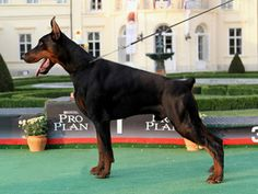 Quality Breeding Selection, Altobello Dobermann Kennel - home of Champions and International Champions