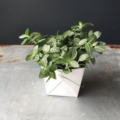 Indoor Vegetable Gardening Houseplant - Fittonia White - Fittonia is a beautiful plant with intricate vein coloration in white, pink, and/or red making it a great addition to anybody's plant collection. Indoor Vegetable Gardening, Hydroponic Gardening, Organic Gardening, Garden Plants, Indoor Plants, Gardening Tips, Urban Gardening, Potted Plants, Nerve Plant