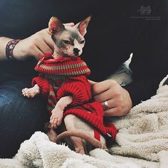 "From @diana.miau: ""My Canadian Sphynx Shelby loves her Pullover!"" #catsofinstagram"