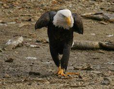 Fraser Valley Bald Eagle Weekend (Harrison, #BC) - November 29-December 1, 2013