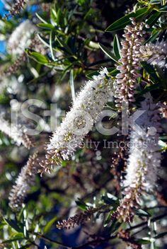 New Zealand Hebe Flower royalty-free stock photo Adaptive Radiation, Flower Photos, Image Now, New Zealand, Nativity, Royalty Free Stock Photos, World, Nature, Flowers