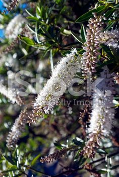 New Zealand Hebe Flower royalty-free stock photo