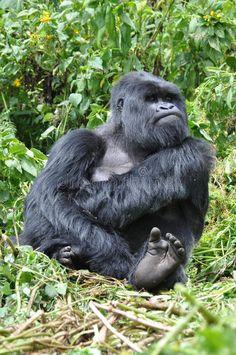 Gorilla Funny, Silverback Gorilla, Chimpanzee, Orangutans, Funny Animal Memes, Funny Animals, Cute Animals, Wild Animals, Animals