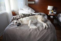 Kangal Dog Big Dogs, Dogs And Puppies, Dog Lover Gifts, Dog Lovers, Anatolian Shepherd, German Shepherds, Kangal Dog, Belgian Tervuren, Large Dog Breeds