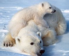 Polar Bears - In Greenland, hunting restrictions were first introduced in 1994 and expanded by executive order in 2005. Until 2005 Greenland placed no limit on hunting by indigenous people. However, in 2006 it imposed a limit of 150, while also allowed recreational hunting for the first time. Other provisions included year-round protection of cubs and mothers, restrictions on weapons used, and various administrative requirements to catalogue kills.