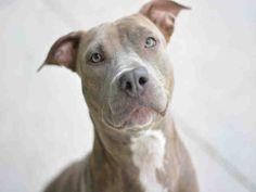 American Staffordshire Terrier dog for Adoption in Fort Lauderdale, FL. ADN-457920 on PuppyFinder.com Gender: Female. Age: Young
