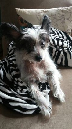Chinese crested love    my Sis