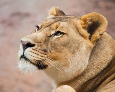 Wildlife photography and inspiration images Wil. Lion Photography, Wild Animals Photography, Photography Ideas, Portrait Photography, Wild Animals Photos, Baby Animals Pictures, Lion Pictures, Nature Animals, Zoo Animals