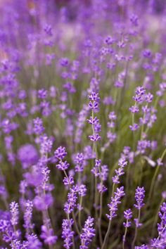Benefits of Lavendar :: Fancy Nonsense