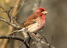 """Purple Finch - Roger Tory Peterson's description """"dipped in raspberry juice"""" is what I recall when I see these finches at our winter feeders."""