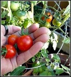 Cherry tomatoes are one of the easiest varieties of tomatoes to grow. They are hearty plants and produce well everywhere I have grown them including the Las Vegas' desert,