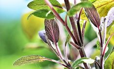 Using natural herbs is one of the best ways to improve your health and wellbeing. And the best thing is – herbs that heal the body can be easily grown at home, in your kitchen or small garden. Herbal Remedies, Health Remedies, Natural Remedies, Holistic Remedies, Herbs For Health, Healthy Herbs, Herbal Tinctures, Herbalism, Natural Medicine