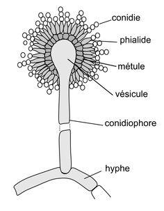 aspergillus diagram