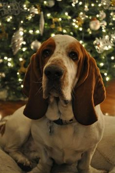 Merv Griffin, my basset hound at Christmas