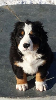 Baxter- Bernese Mountain Dog puppy