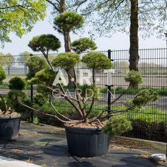 Pinus mugo mughus bons125-150, C230