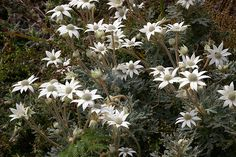 A temperate climate plant that is not that is not very frost hardy ( to maybe 20 F), the flannel flower is a signature plant of Australia and makes an excellent cut flower. THE OUTSTANDING FLANNEL FLOWER. Australian Native Garden, Australian Native Flowers, Garden Beds, Garden Plants, Flora Botanica, Flannel Flower, Coastal Gardens, Native Plants, Spring Flowers