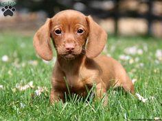 Joey, Dachshund puppy