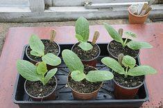 Cukkini - gazigazito.hu Plants, Gardening, Lawn And Garden, Plant, Planets, Horticulture