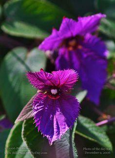 Costa Rican Butterfly Vine [Dalechampia dioscoreifolia] $35 for 5 gallon bucket
