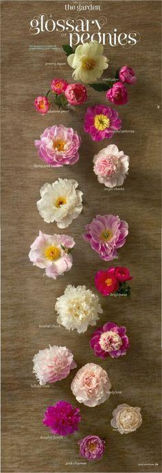 FLOWERS ~~ THE PEONY