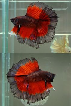 Siamese Fighting Fish - Black/Red Butterfly Double Tail Half Moon Betta Splendens