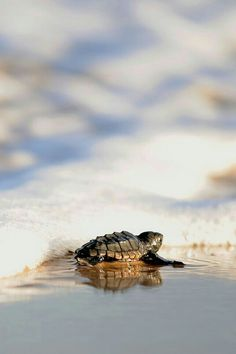 Itty bitty sea turtle heads for the water so adorable - credit: EVARISTO SA/AFP/Getty Images Baby Sea Turtles, Cute Turtles, Turtle Baby, Tiny Turtle, Sea Turtle Pictures, Animal Pictures, Beautiful Creatures, Animals Beautiful, Loggerhead Turtle