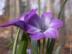 Tecophilaea_cyanocrocus_var._violacea12_JL.jpg (600×450)