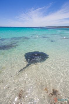 See a stingray on the beach at Hamelin Bay in Western Australia