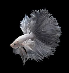 White - Betta fish, siamese fighting fish / Visarute Angkatavanich