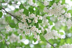 Japanese snowbell (Styrax japonicus) by hanabi via Flickr