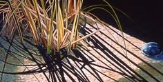 Bold Botanical: Paintings of Water Plants by Carol Sims